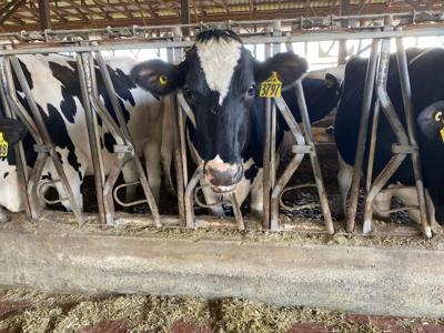 Reinford Farm Cows