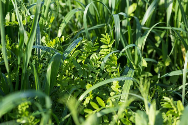 Vetch and oats as cover crops. Green manure crops