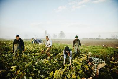 Farmers harvesting organic squash in field Dup