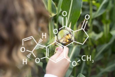 Concept of corn crops with chemical structure of aflatoxin. Agronomist in corn maize field searching for aflatoxin and other diseases. Food control and crops inspection in agriculture.