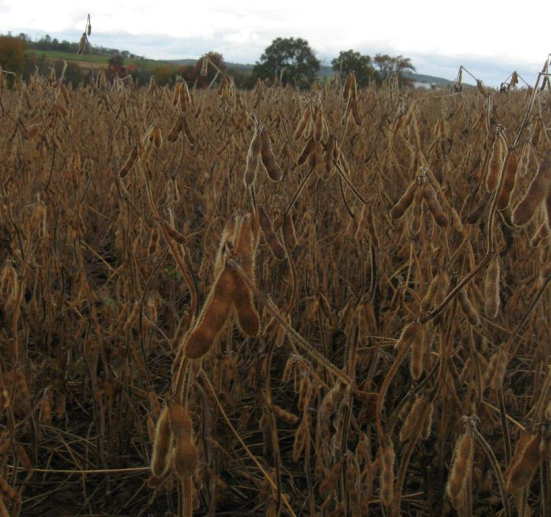 Croptalk-Soybean2.jpg