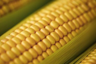Corn ear close up