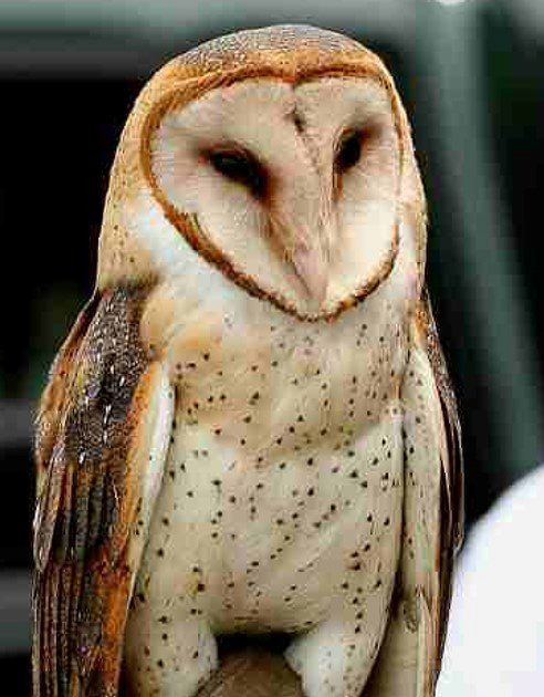 Barn Owls Are a Farmer's Best Friend | Conservation