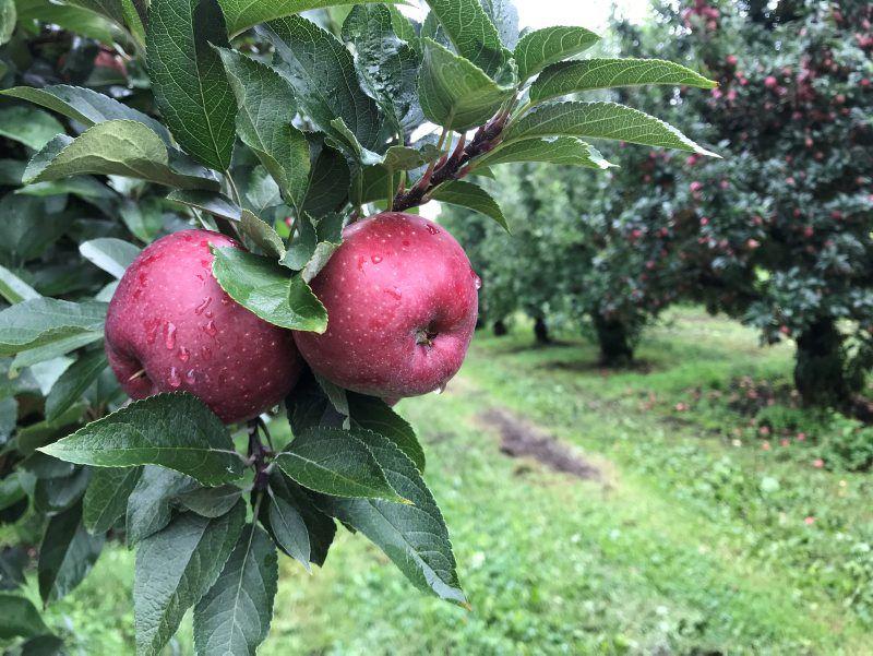 frecon-apple-1.jpg