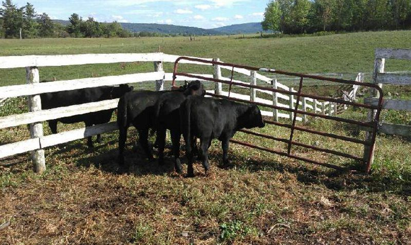 Central NY Feeder Cattle Pool Moves Forward