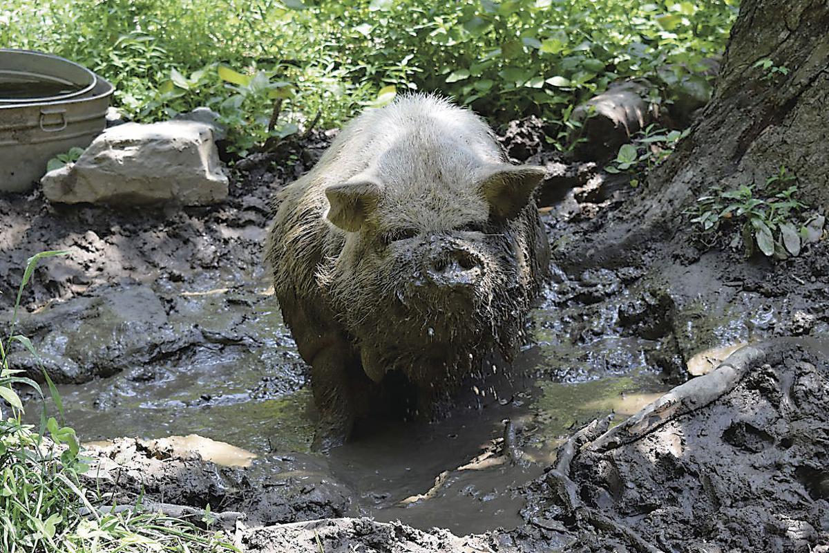 KuneKune Pigs Fit Small Food Production