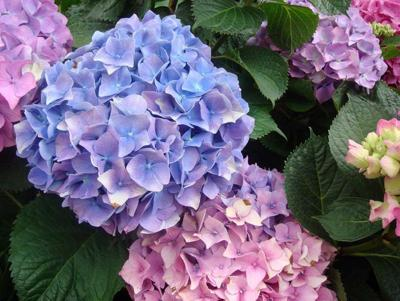 Cut Flower Growers Looking At Hydrangeas For Perennial Blooms