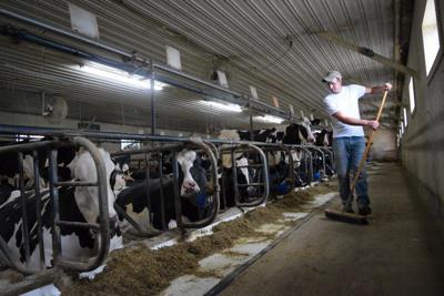 smith-cows-2.jpg