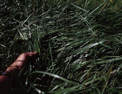 fescue grass stockpiled forage
