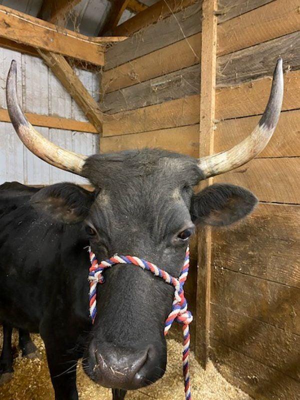 A-Kerry-Cattle-4.jpg