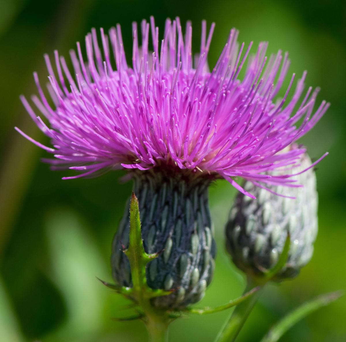Native Thistles Have Been Getting Bad Rap From Invasive ...