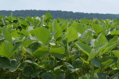Soy Bean Field (copy)