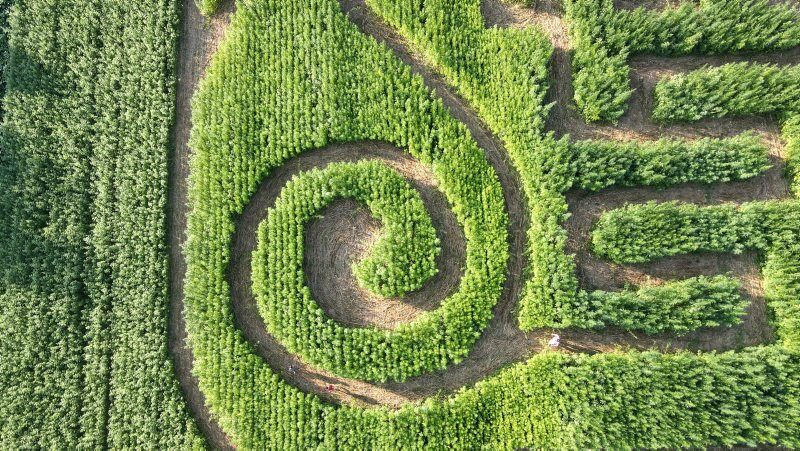 Hemp-maze-1.jpg