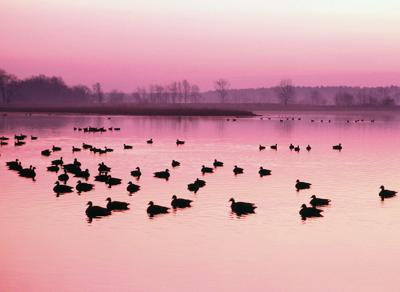 Chesapeake-Bay-Ducks