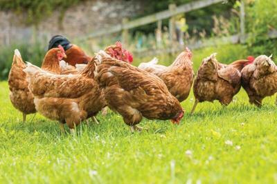 chickens-backyard.tif