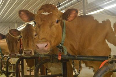 World Guernsey Convention Comes to Lancaster | Dairy Farming News