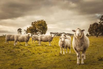 Group of sheep grazing in paddock at farm