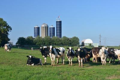 Cows at Dairy Farm