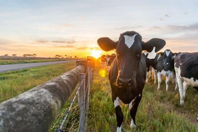 Cow and farmland at sunrise