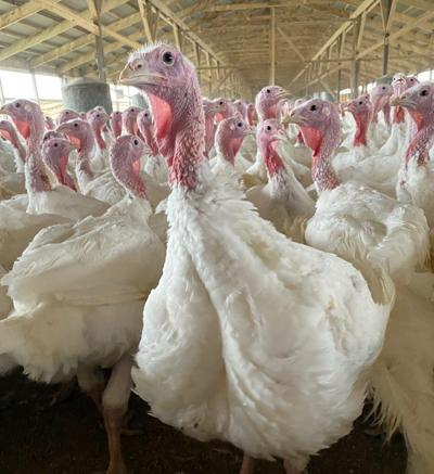 A-Turkey-4.jpg
