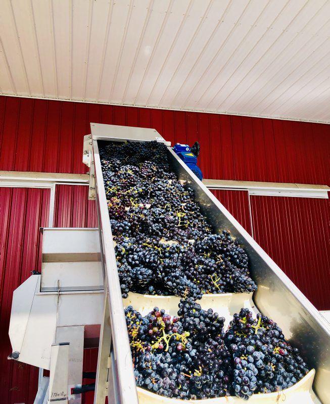 Watson-Hampton-Grapes-2.jpg