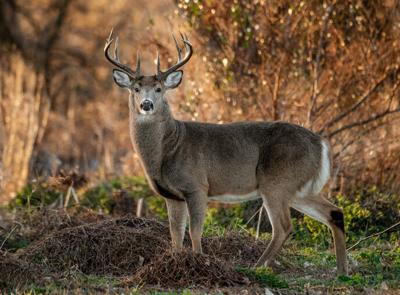 White tailed deer at sunrise
