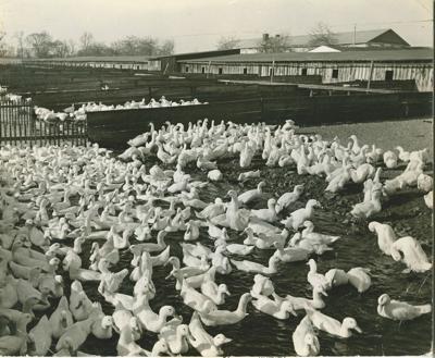 Scribbler ducks
