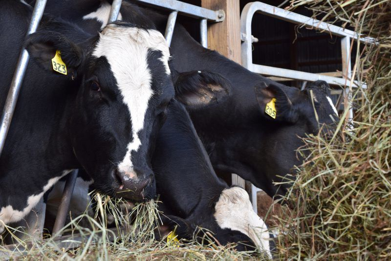 cow-1.jpg