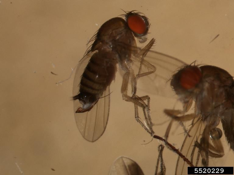 Spotted Wing Drosophila Can Be Beaten With the Right Controls