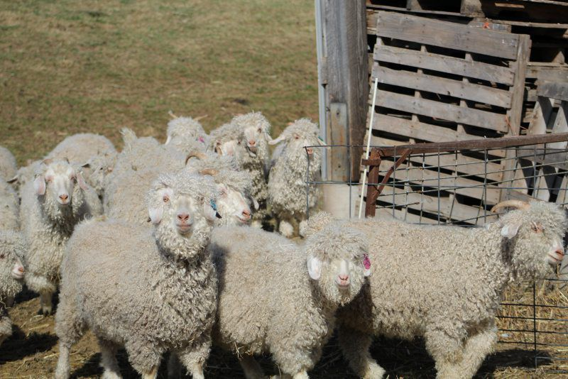 Turning Mohair Into Profit