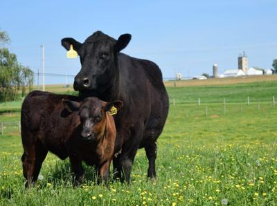 Beef Breeding Makes Leap in Pennsylvania | Beef & Cattle