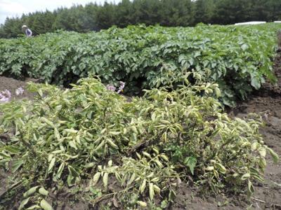 Potato-Breeding-1.jpg