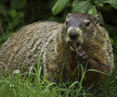 Groundhog, creative commons