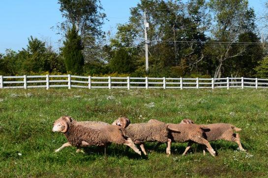 rare-Sheep-4.jpg