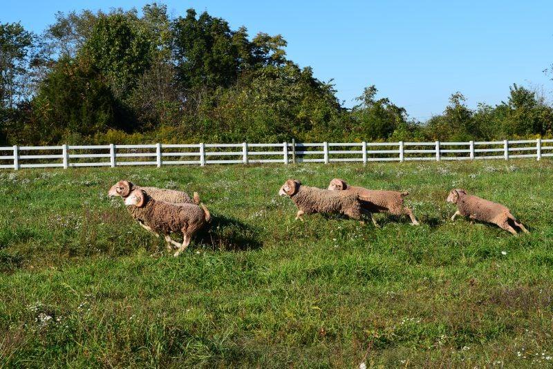 rare-Sheep-2.jpg