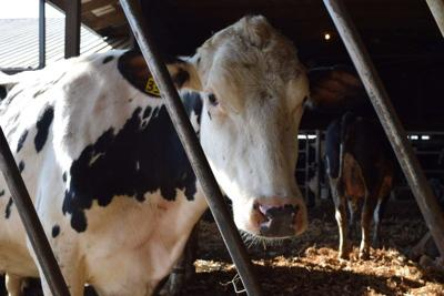 another-dairy-cow.jpg