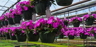 Promise Blooms With New Generation of Popular Bedding Plant