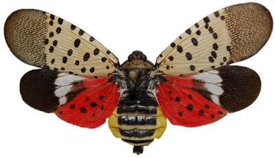 Spotted-Lanternfly.jpg