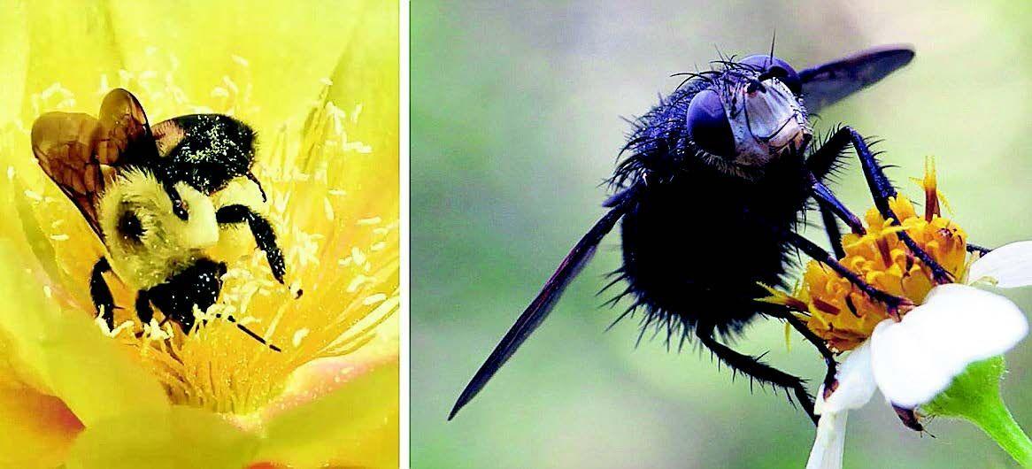 Bees Flies- PS Ext Jonnie Dietz, Florida Museum of Natural History.jpg
