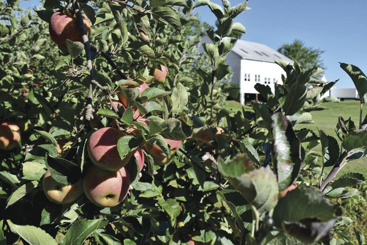 Apple Crop Pulls Through Despite Weather