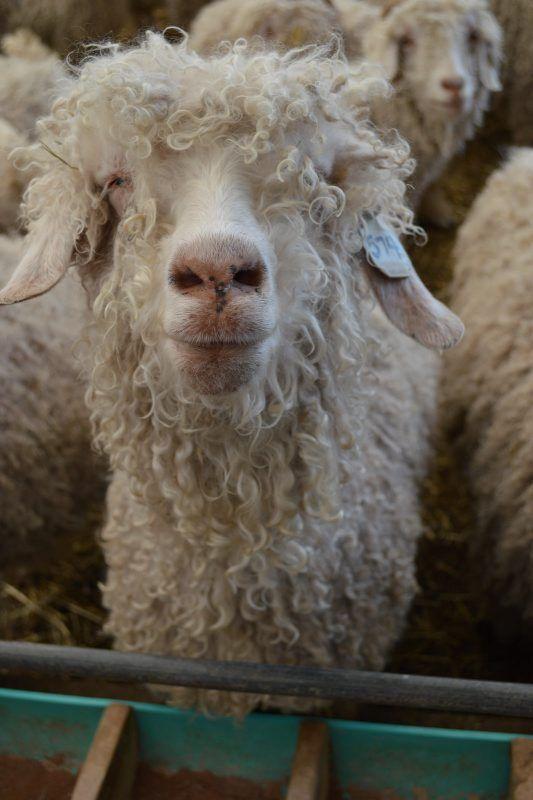 LF20210410-Angora2-Goats1.jpg