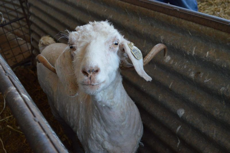 LF20210410-Angora-Goats2.jpg