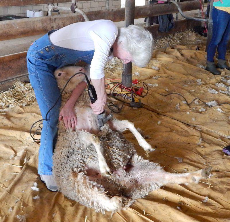 Hemphill-Shearing-2.jpg