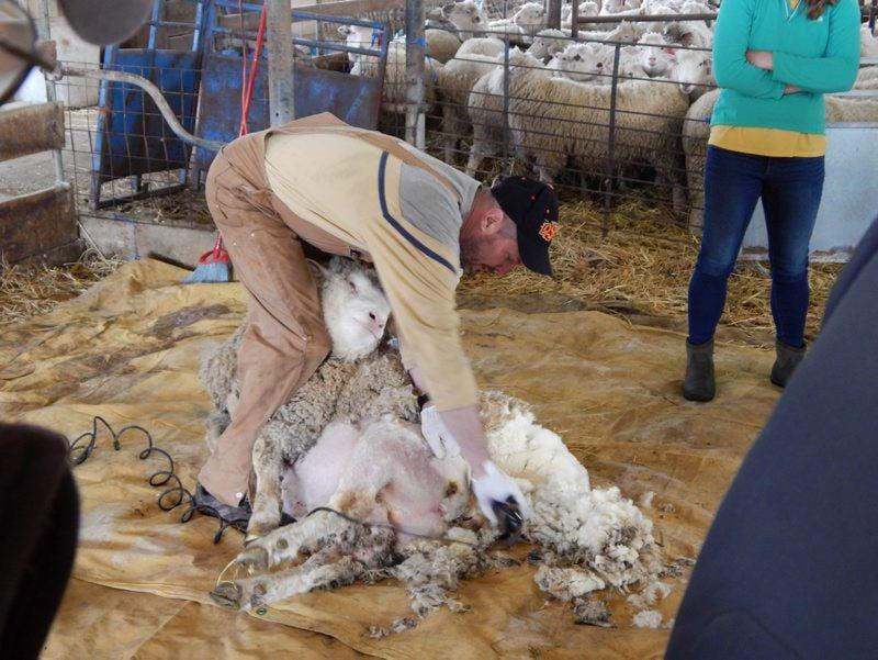 Hemphill-Shearing-4.jpg