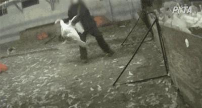 PETA image from Plainville Farms