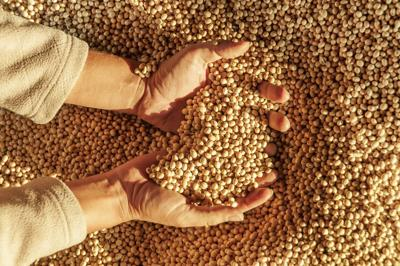 Human hands with soy harvest. Handful of grains