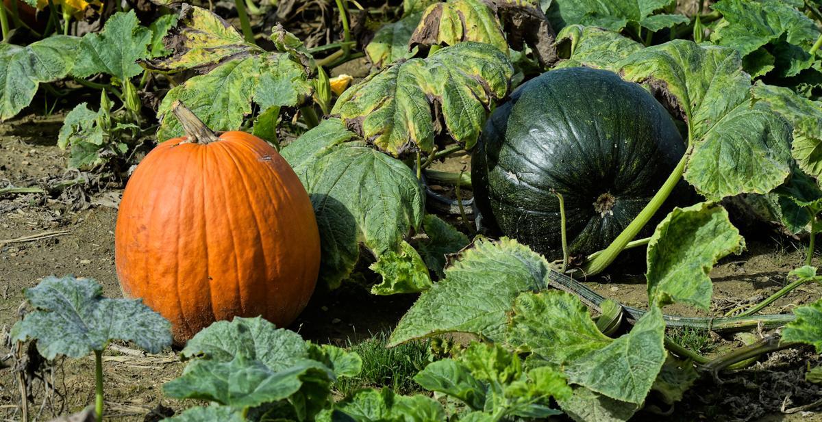 Pumpkins Cherry Hill Orchard 9.jpg