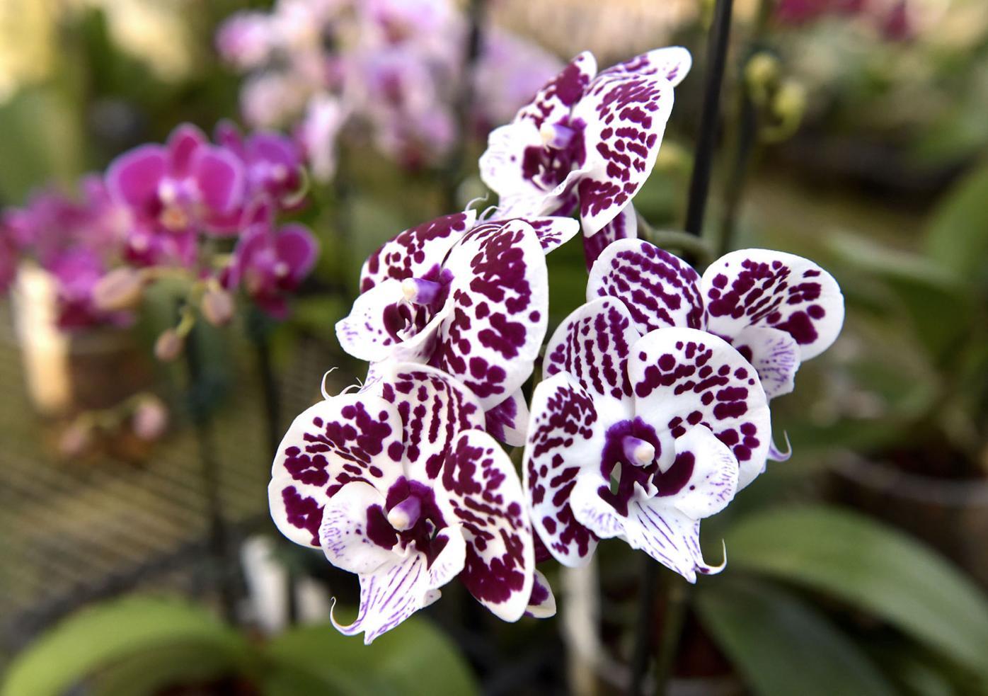 little brook orchids03.jpg