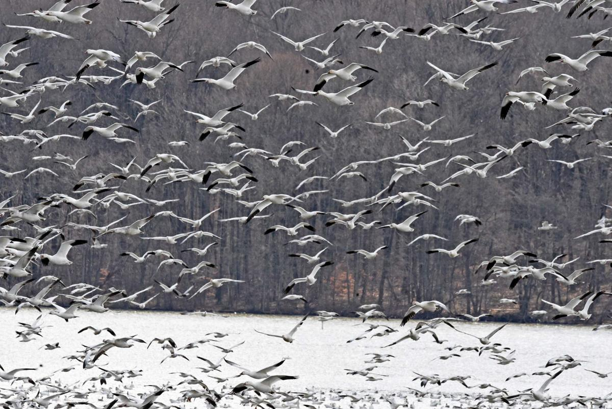 Middle Creek Geese