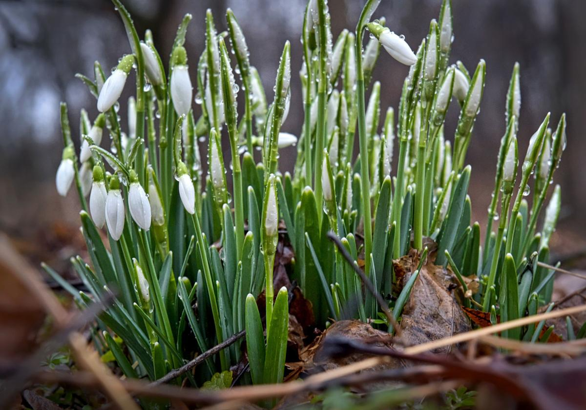 Snowdrops Are One Of The First Signs Of Spring How To Grow Them